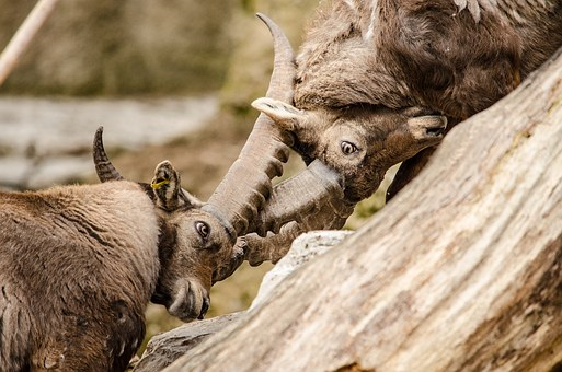 two animals lock horns in battle